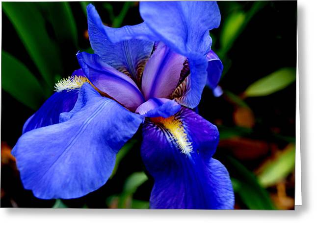 Flower Photos Greeting Cards - Iris II Greeting Card by James Granberry