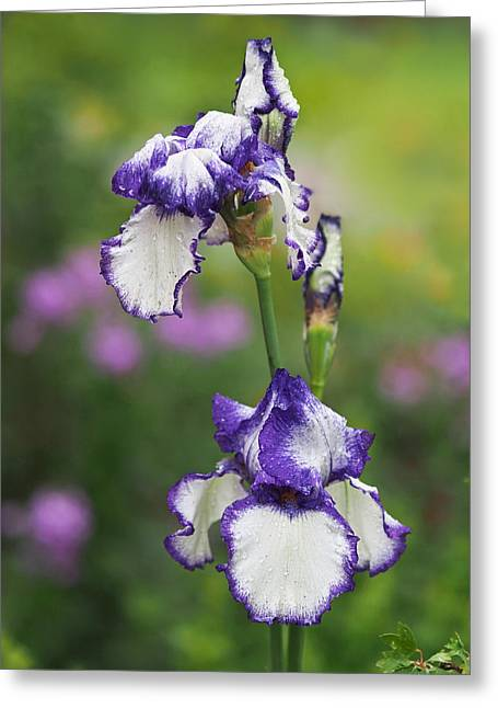 Purple Flowers Greeting Cards - Iris Loop the Loop  Greeting Card by Rona Black