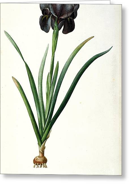 Shoot Greeting Cards - Iris Luxiana Greeting Card by Pierre Joseph  Redoute