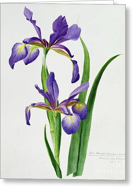 Purple Flowers Greeting Cards - Iris monspur Greeting Card by Anonymous