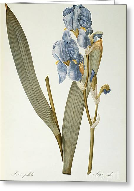 Botanical Greeting Cards - Iris Pallida Greeting Card by Pierre Joseph Redoute