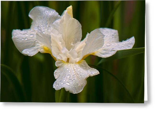 Iris Purity Greeting Card by Michael Putnam