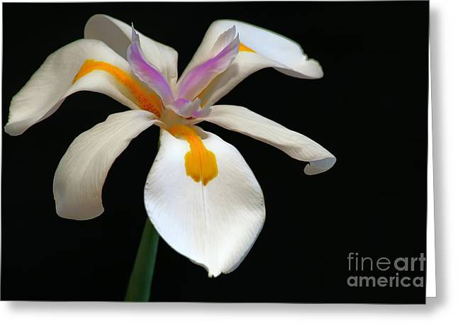 Flower Blossom Greeting Cards - Iris Greeting Card by Richard Mann