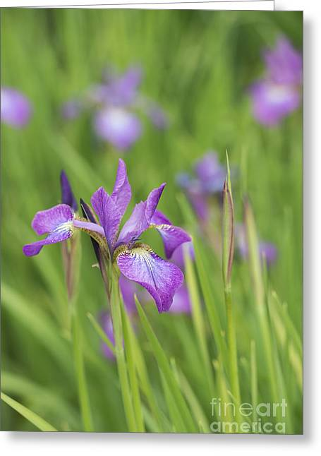 Multicolored Roses Greeting Cards - Iris Sibirica Sparkling Rose Flower Greeting Card by Tim Gainey