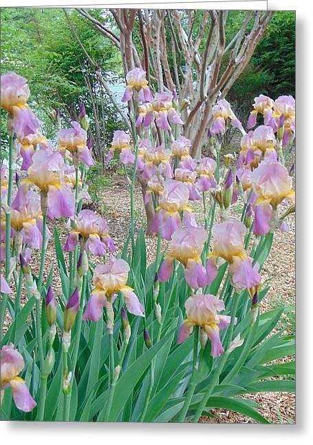 Spring Bulbs Greeting Cards - Iris Splendor Greeting Card by Charlotte Gray