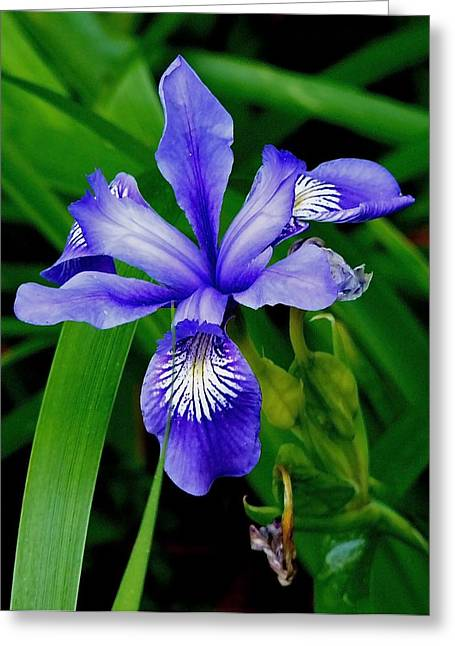 Point Lobos State Greeting Cards - iris Wildflower Greeting Card by Carol Koceja