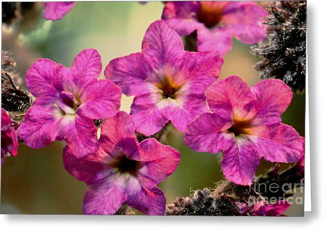 Macro Finalized Photographs Greeting Cards - Irridescent Pink Flowers Greeting Card by Ryan Kelly