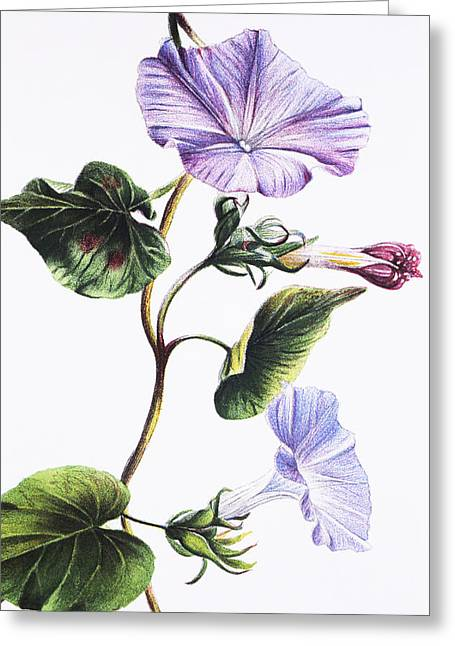 Hawaiian Vintage Art Greeting Cards - Isabella Sinclair - Pohue Greeting Card by Hawaiian Legacy Archive - Printscapes