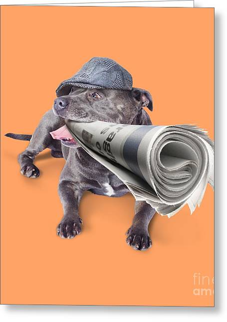 Staffie Greeting Cards - Isolated newspaper dog carrying latest news Greeting Card by Ryan Jorgensen