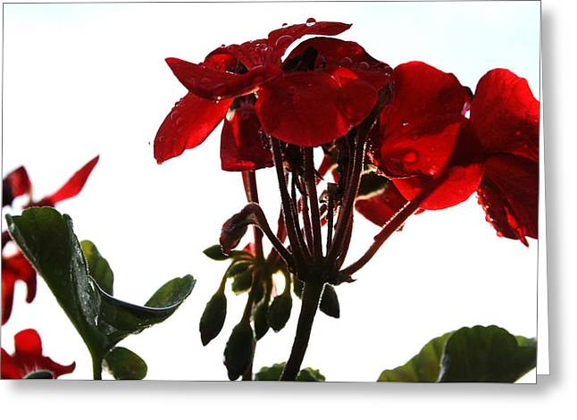 Red Geraniums Greeting Cards - Isolated Red Geranium Greeting Card by Karen Fowler