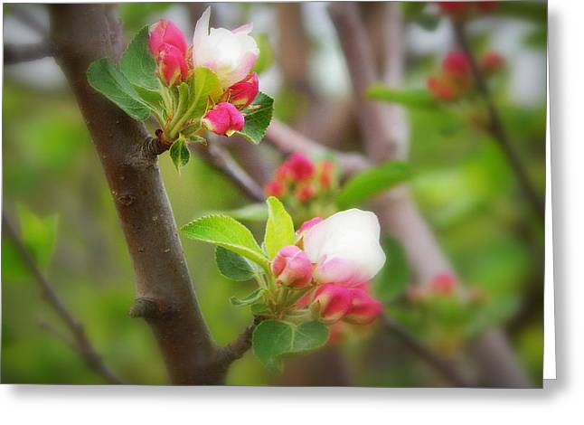 The Trees Greeting Cards - It is spring time in the Annapolis Valley Greeting Card by Karen Cook