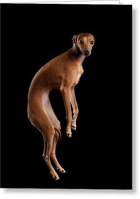 Italian Greyhound Dog Jumping, Hangs In Air, Looking Camera Isolated Greeting Card by Sergey Taran