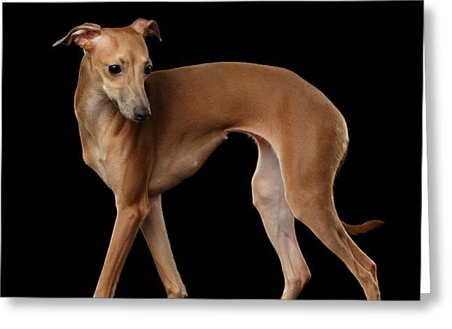 Italian Greyhound Dog Standing  Isolated Greeting Card by Sergey Taran