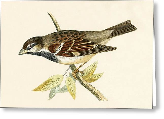 Italian House Sparrow Greeting Card by English School