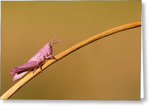Grasshoppers Greeting Cards - Its Not Easy Being Pink Greeting Card by Roeselien Raimond