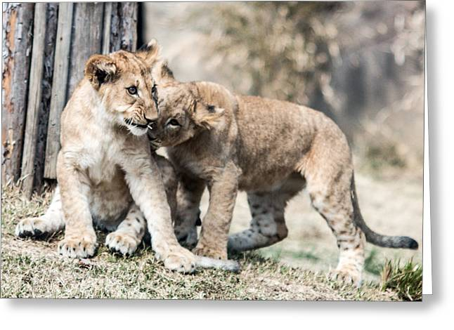 Lions Greeting Cards - Ive Got a Secret Greeting Card by Cathy Donohoue