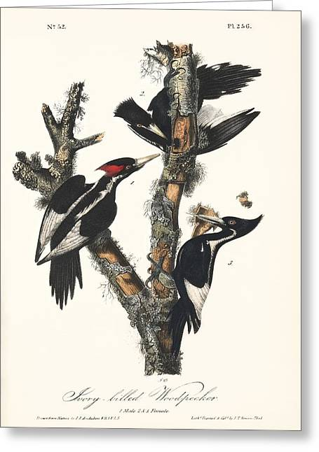 Animal Behaviour Greeting Cards - Ivory-billed Woodpeckers, Artwork Greeting Card by Humanities And Social Sciences Librarynew York Public Library