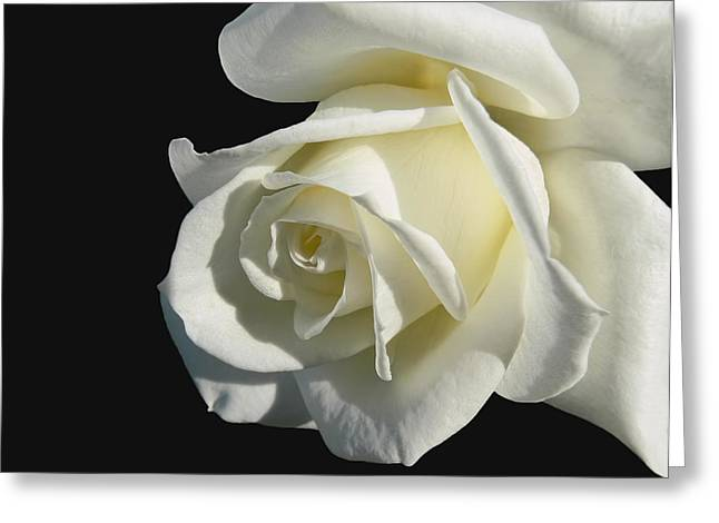 Ivory Flower Greeting Cards - Ivory Rose Flower on Black Greeting Card by Jennie Marie Schell