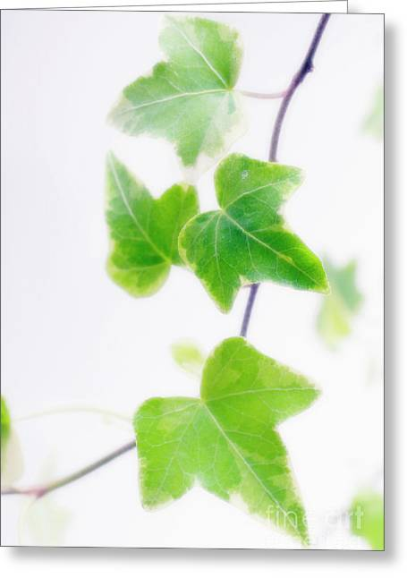 Helix Greeting Cards - Ivy (hedera Helix) Greeting Card by Maria Mosolova