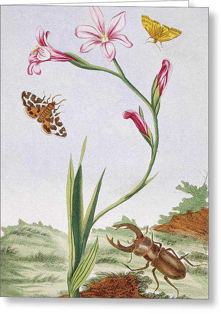 Ixia And Stag Beetle Greeting Card by Pierre-Joseph Buchoz