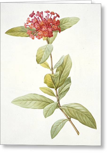 Redoute Drawings Greeting Cards - Ixora speciosa Greeting Card by Pierre Joseph Redoute
