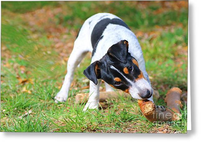 Innocence Greeting Cards - Jack russell puppy gnaws wooden stick Greeting Card by Gregory DUBUS