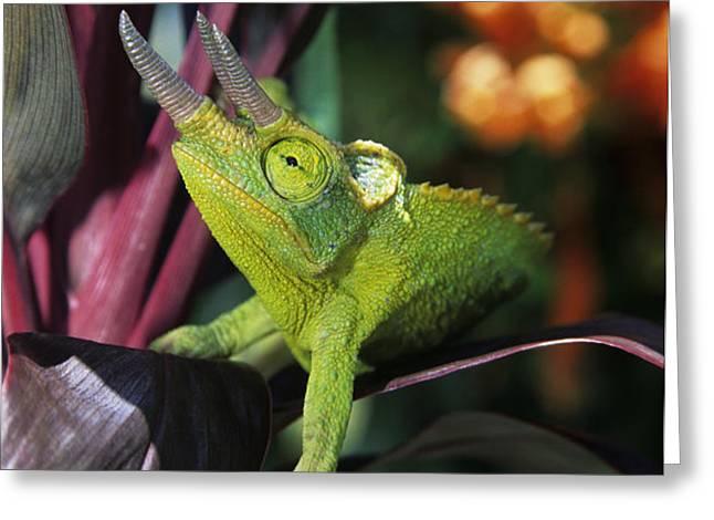 Jacksons Chameleon on Leaf Greeting Card by Dave Fleetham - Printscapes