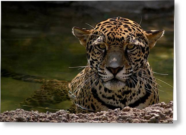 Jaguar Art Greeting Cards - Jaguar in the Water Greeting Card by Sandy Keeton