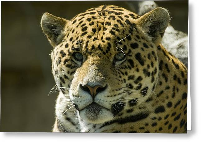 Jaguar Greeting Card by Mary Lane