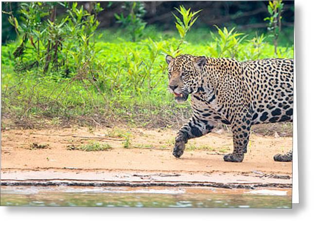 Jaguar Panthera Onca On Riverbank Greeting Card by Panoramic Images