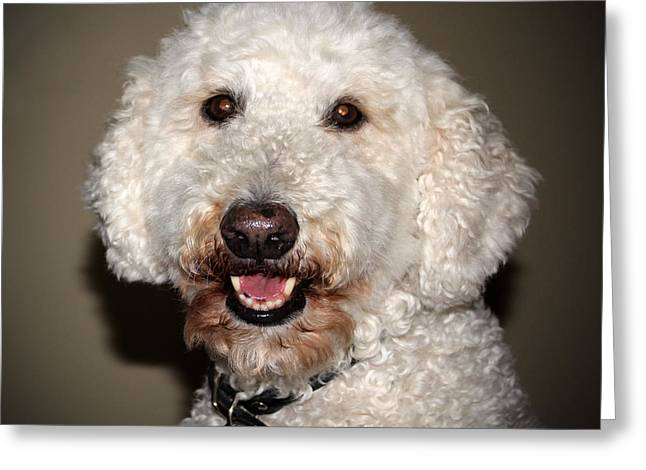 Pet Therapy Greeting Cards - Jake The Labradoodle  Greeting Card by Cynthia Guinn