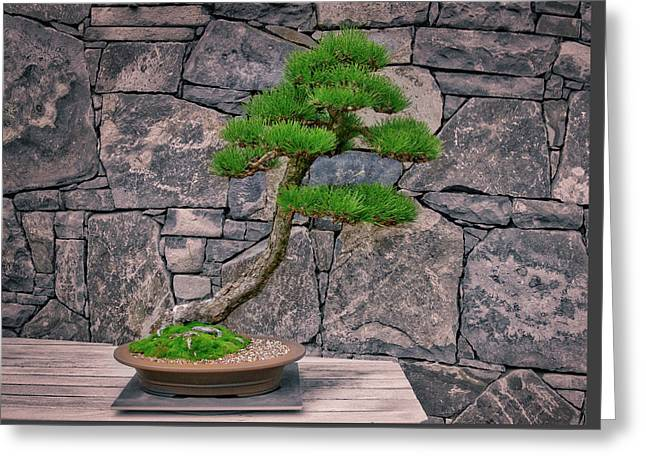 Japanese Black Pine Bonsai Greeting Card by Steven Ralser