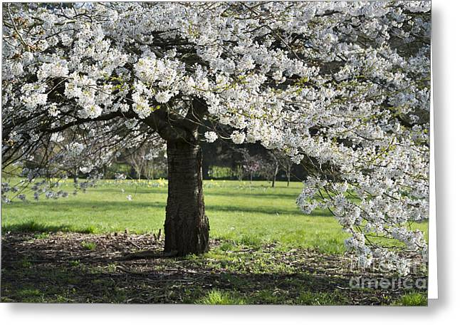 Japanese Cherry Tree Greeting Card by Tim Gainey