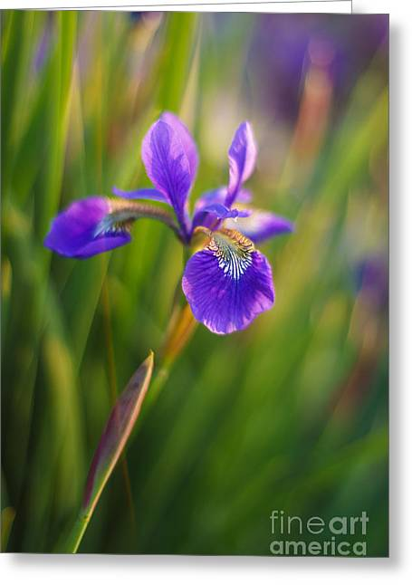 Japanese Iris Vibrant Greeting Card by Mike Reid
