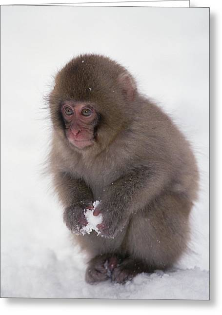 Animal Behaviour Greeting Cards - Japanese Macaque Macaca Fuscata Baby Greeting Card by Konrad Wothe