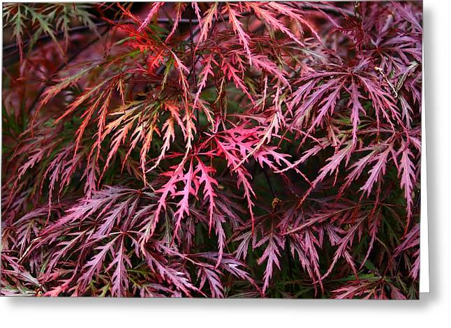 Foliage Photographs Greeting Cards - Japanese Maple Greeting Card by Rona Black