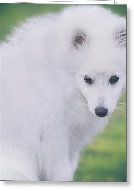 Japanese Puppy Greeting Cards - Japanese Spitz Puppy Portrait Greeting Card by Wolf Shadow  Photography