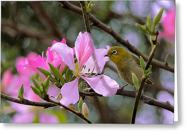 Olive Green Greeting Cards - Japanese White-Eye On Pink Bauhinia Greeting Card by Janet Pancho Gupta