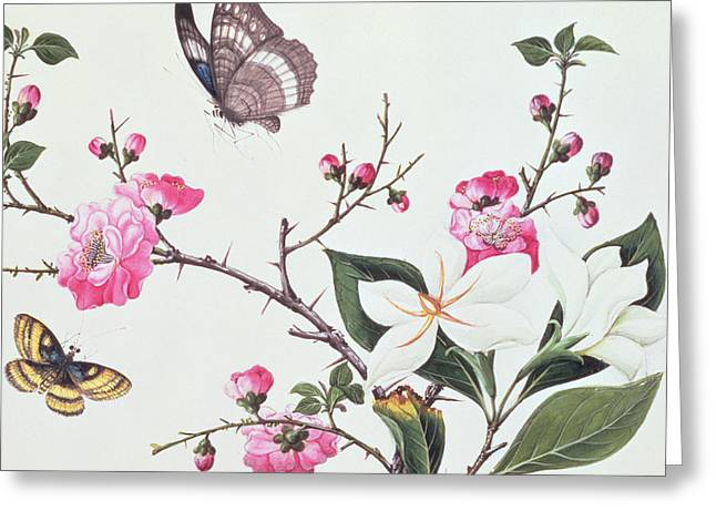 White And Green Greeting Cards - Japonica Magnolia and Butterflies Greeting Card by Chinese School