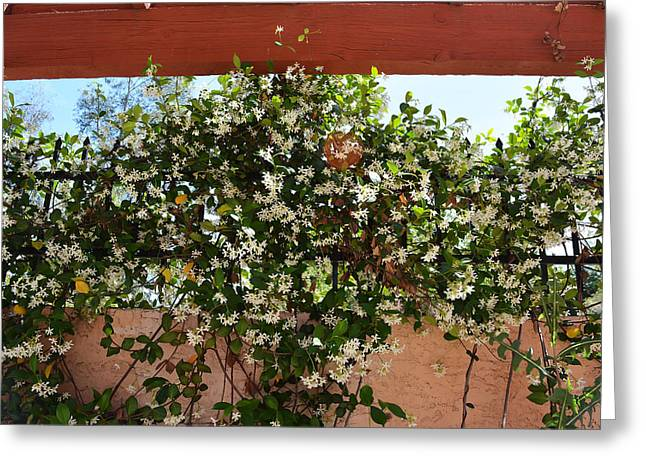 Fragrant Flowers Greeting Cards - Jasmine on Fence Greeting Card by Aimee L Maher Photography and Art