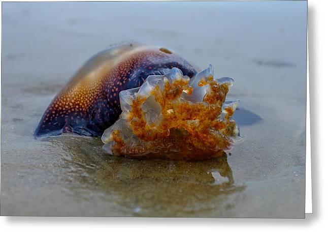 Jelly Fish Greeting Cards - Jellys last swim Greeting Card by Chris Bordeleau