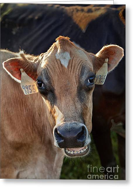 Milk Teeth Greeting Cards - Jersey Cow Communicating Greeting Card by Inga Spence