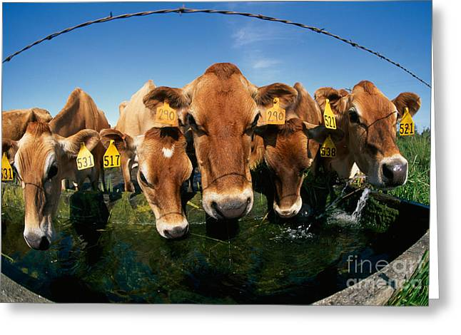 Jersey Cow Greeting Cards - Jersey Cows At Trough Greeting Card by Inga Spence