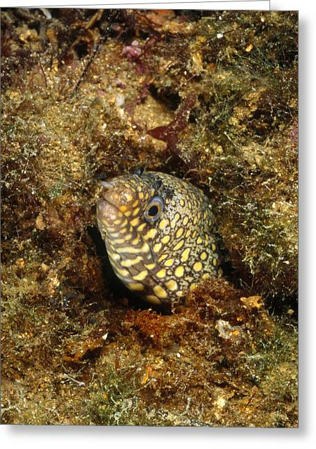 Yelllow Greeting Cards - Jewel Moray Eel Hiding In Hole, Muraena Greeting Card by James Forte