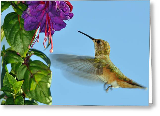 Bird-feeder Greeting Cards - Jeweled Rufous in Afternoon Light Greeting Card by Laura Mountainspring