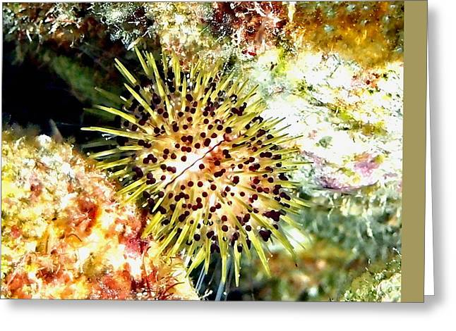 Snorkel Greeting Cards - Jewell Urchin on Coral Reef Greeting Card by Amy McDaniel