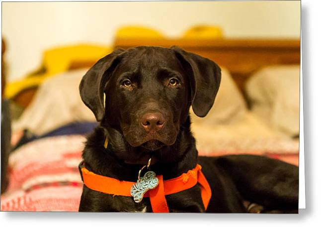 Puppies Photographs Greeting Cards - JoJo Almost Six Months Greeting Card by Bob Marquis