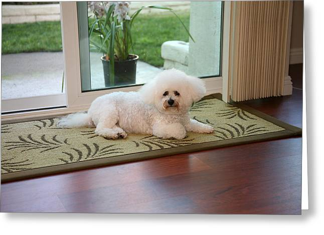 Isolated On Black Background Greeting Cards - Jolie the Bichon Frise Greeting Card by Michael Ledray