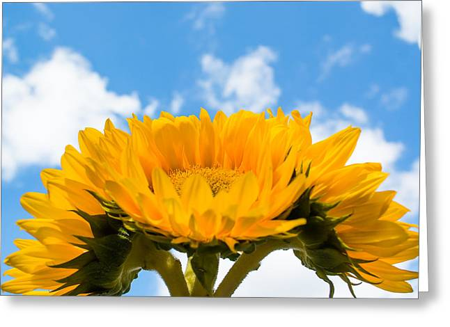 Sunflower Joy Greeting Cards - Joyful Sunflowers Greeting Card by Shelby  Young