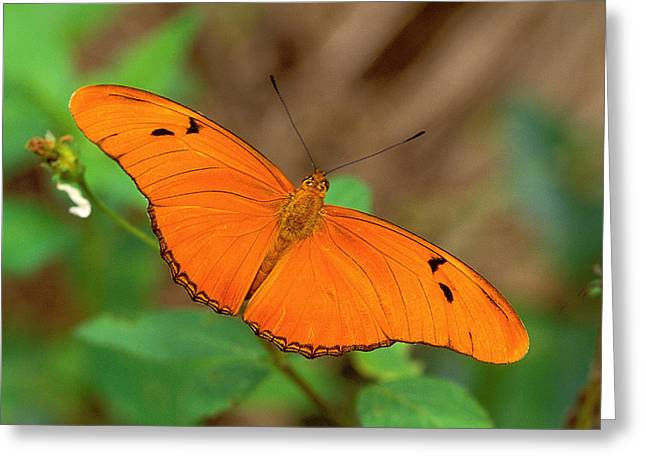 Julia Greeting Cards - Julia Butterfly Greeting Card by Alan Lenk
